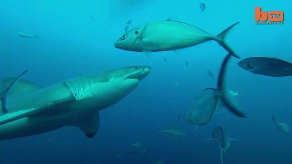 Shark Vs Shark: Giant Great White Attacks Another Great White - Sputnik International