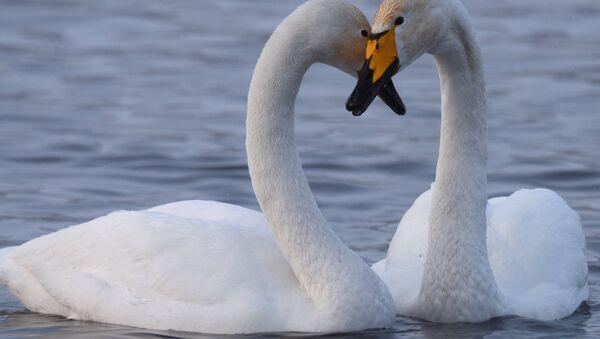 Swans - Sputnik International