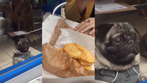Passerby Pug Entranced by Strangers' Lunch - Sputnik International