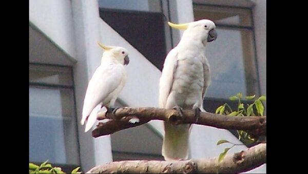 Yellow-Crested Cockatoo - Sputnik International