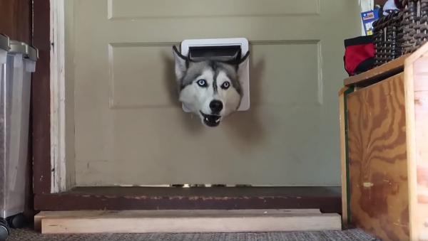 'Where Were You?!' Husky Scolds Owner Through Doggy Door - Sputnik International