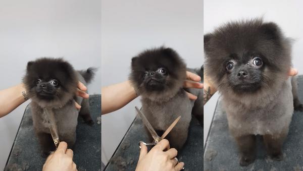 Groom 'n Groove: Puppy Dances During Haircut - Sputnik International