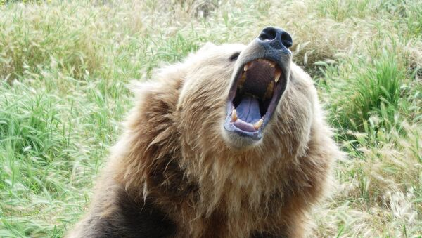 Growling bear - Sputnik International