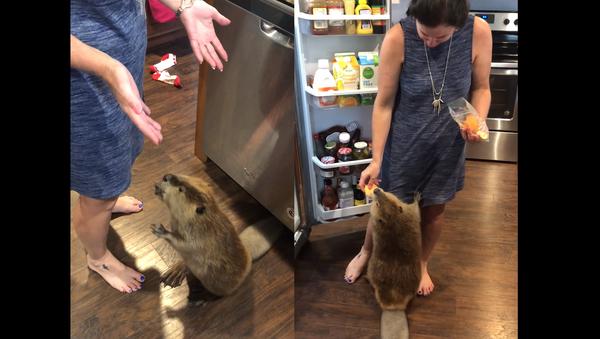 Ain't Too Proud to Beg: Beaver Solicits a Slice of Sweet Potato - Sputnik International