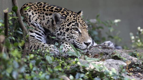 Jaguar - Sputnik International