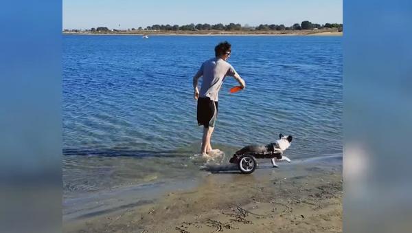 Paraplegic Pup Knows No Boundaries at Beach - Sputnik International