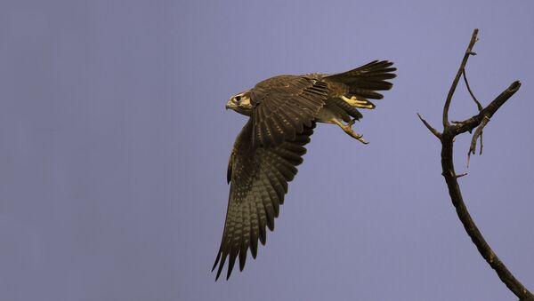 A Laggar Falcon begins a typical swoop at Tal Chappar Sanctuary, Rajasthan, India. - Sputnik International
