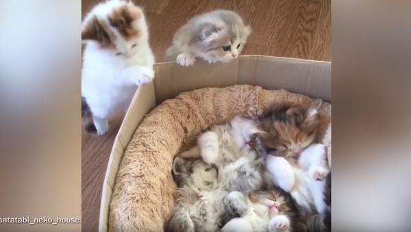 Help Meowt! Tardy Kittens Can't Fit in For Naptime - Sputnik International