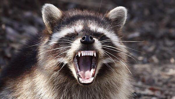 Raccoon - Sputnik International