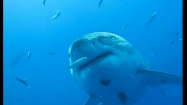 Deep Blue, a 20 foot-long Great White Shark, filmed off the coast of Mexico in 2013 - Sputnik International