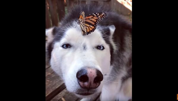 Husky Holds Steady, Goes Cross-Eyed After Monarch Butterfly Makes Landing - Sputnik International