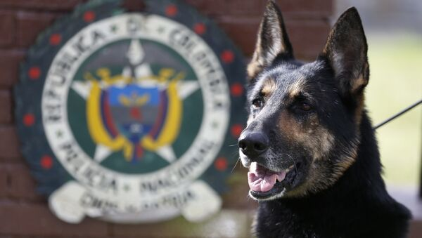 Drug dog Sombra, has helped detect more than 2,000 kilos of cocaine hidden in suitcases, boats and large shipments of fruit, sits outside the police station in Bogota, Colombia, Thursday, July 26, 2018. - Sputnik International