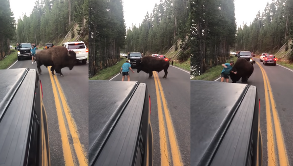 Place Your Bets: Yellowstone Bison Taunted, Bluff Charged by US Man - Sputnik International