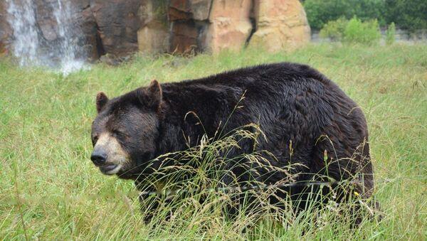 Black bear - Sputnik International