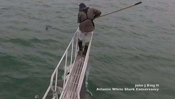 Death From Below: Atlantic Researchers Encounter Great White Shark - Sputnik International