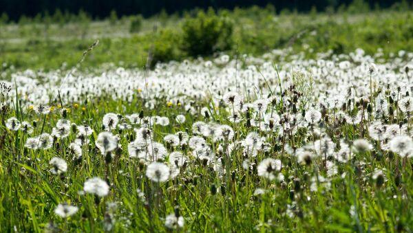 Field of dandelions - Sputnik International