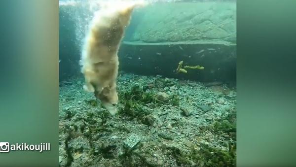Wet Fetch? Golden Retriever Doesn't Mind Playtime Underwater - Sputnik International