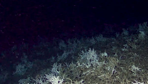 Cold water coral reef discovered off the coast of Charleston, South Carolina, by researchers from the Deep Search expedition - Sputnik International