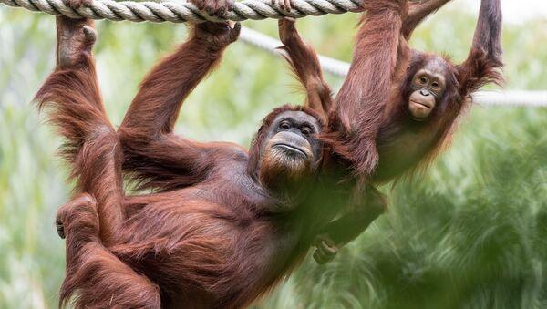 Orangutan Mom and Baby Hanging - Sputnik International