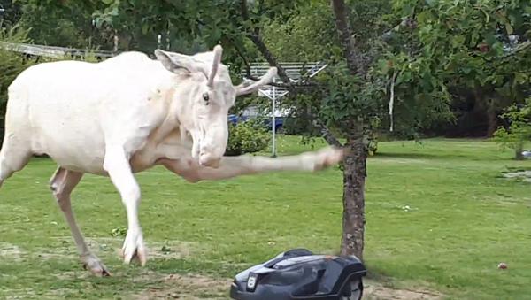 Startled Albino Moose Strikes Robotic Lawn Mower - Sputnik International