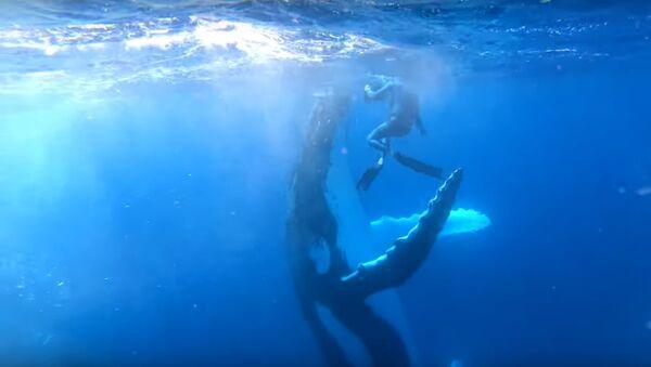 Incredible Moment Humpback Whale High Fives Diver - Sputnik International