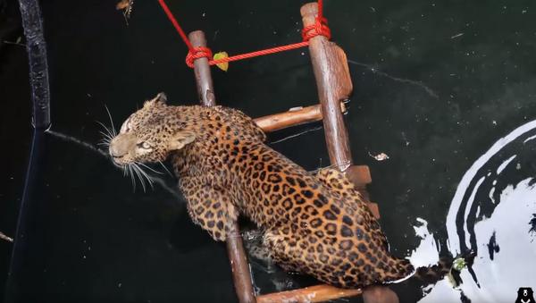 Nine Lives to Live: Leopard Lifted Out of 30-Foot Well - Sputnik International