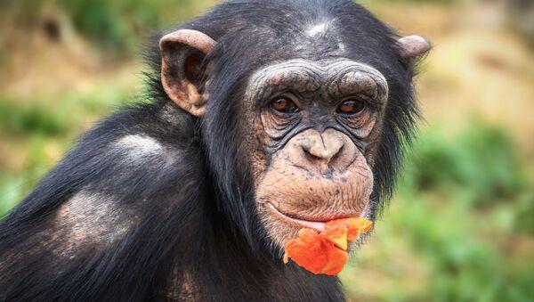 Chimpanzee - Sputnik International