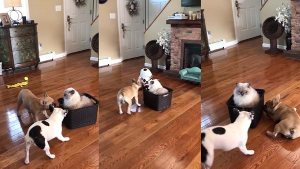 Mush? French Bulldogs Cart Cat Around in Style - Sputnik International