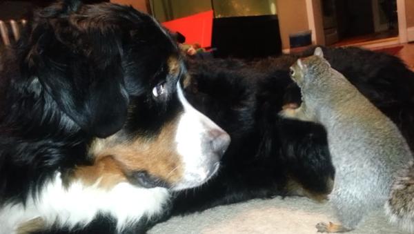 'Uh, Excuse Me?' Squirrel Attempts to Bury Acorn in Bernese Mountain Dog's Fur - Sputnik International