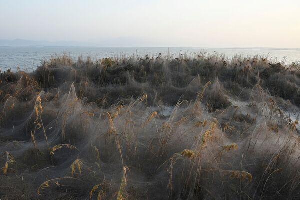 Arachnid Paradise: Greek Lake Gets Govered in Gigantic Spider Webs - Sputnik International