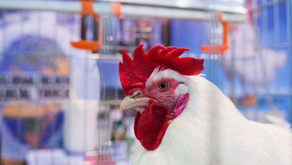 Chicken at Russia's 19th Agricultural Exhibition Golden Autumn-2017 - Sputnik International