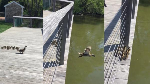 Mother Knows Best: Mama Duck Hops Off Bridge, Ducklings Follow - Sputnik International