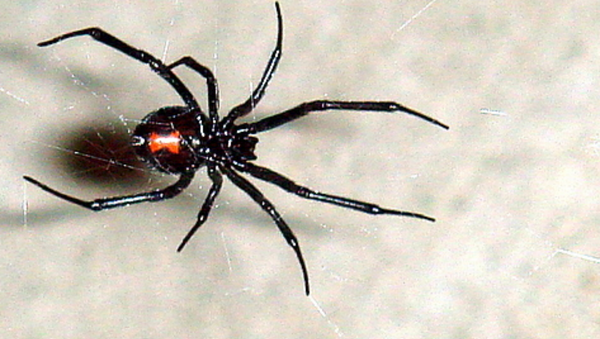 This large female black widow (~18 mm) was found on a 5 foot web in Westminster CA on 11/18/2006. This photo shows the textbook red hourglass on the abdomen as well as the legs and mouth. - Sputnik International