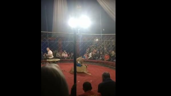 На Кубани в цирке львица напала на 3-летнюю девочку - Sputnik International