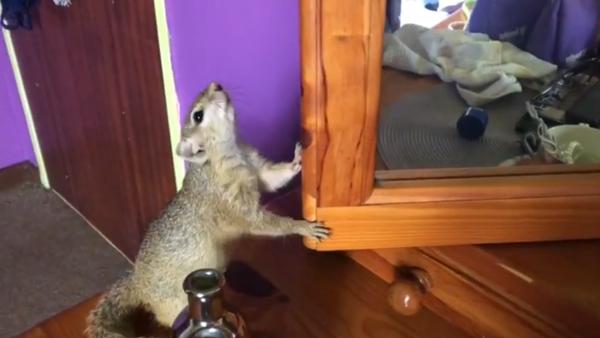 Squirrel bewildered by her mirror reflection - Sputnik International