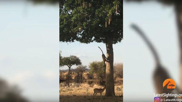 Leopard Jumps on Impala From Tree! - Sputnik International