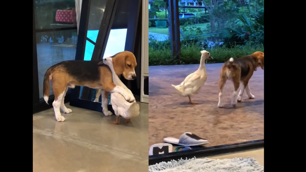 Uncommon Coupling: Beagle and Duck Prove Inseparable - Sputnik International