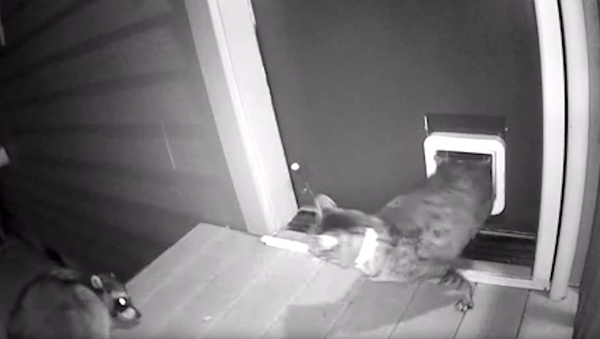 Protective Puss Defends House From Rogue Raccoon - Sputnik International