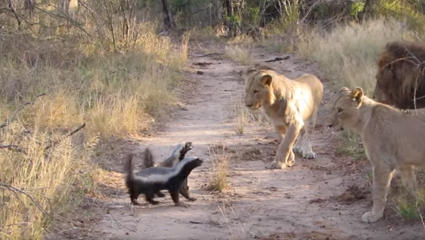 Fearless Honey Badgers Face Off With South African Lions - Sputnik International