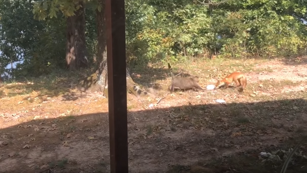 Mealtime Melee: Rotund Cat Attacks Fox Over Food Scraps - Sputnik International