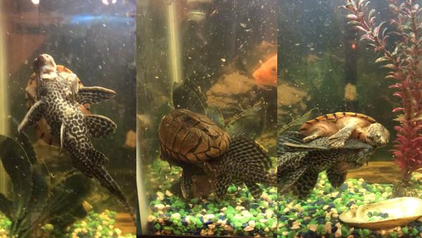 Fish Tank Taxi? Turtle Hitches a Ride on Suckerfish's Back - Sputnik International