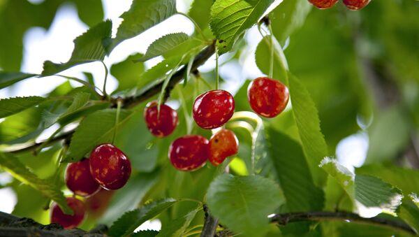 Cherries - Sputnik International