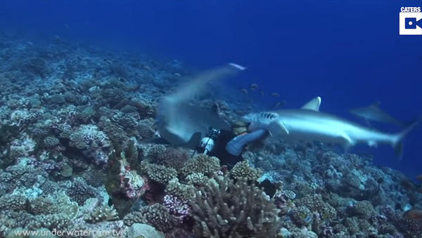 Sampling the Menu: Silverfin Shark Spares Diver, Snags Goggles - Sputnik International