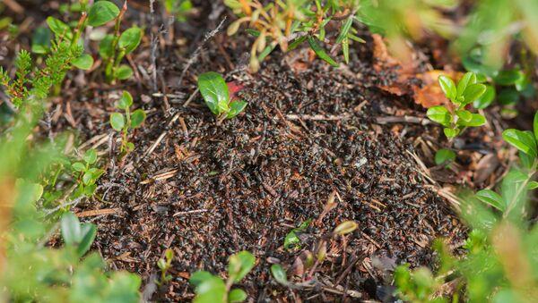 Ants in Vodlosersk Nature Park - Sputnik International