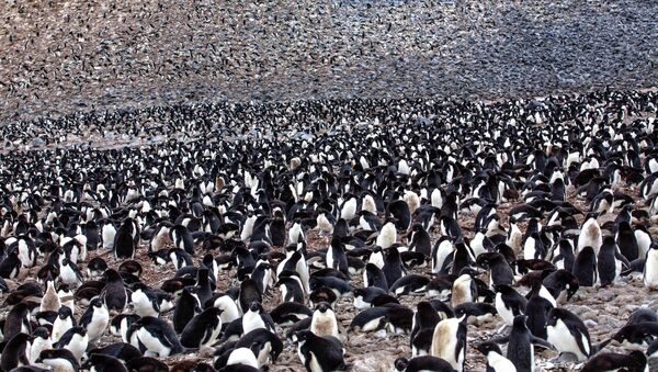 on Paulet Island...more Adelie Penguins (Pygoscelis adeliae) with young chicks..in and around the remains of the rock shelter where 23 shipwrecked men spenta desparate winter of 1903... - Sputnik International