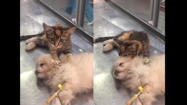 A Friend in Knead? Kitten Massages Rescue Clinic Companion - Sputnik International