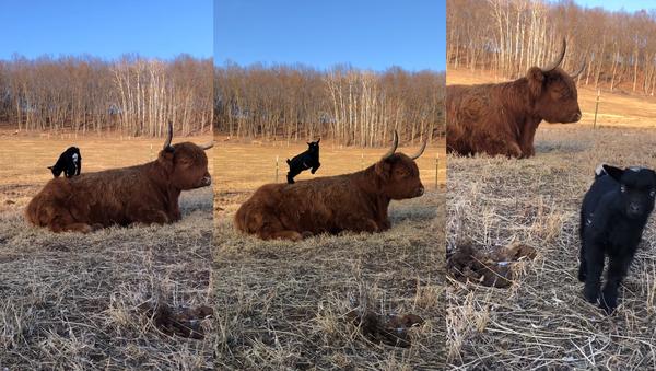 Playful Dwarf Goat Enjoys Playtime on Stoic Scottish Highland's Back - Sputnik International