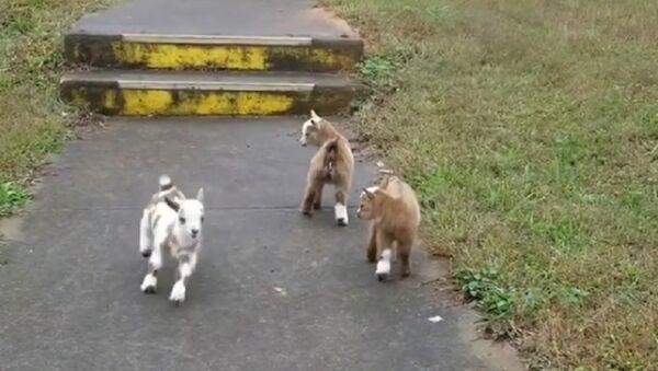 Baby goats - Sputnik International