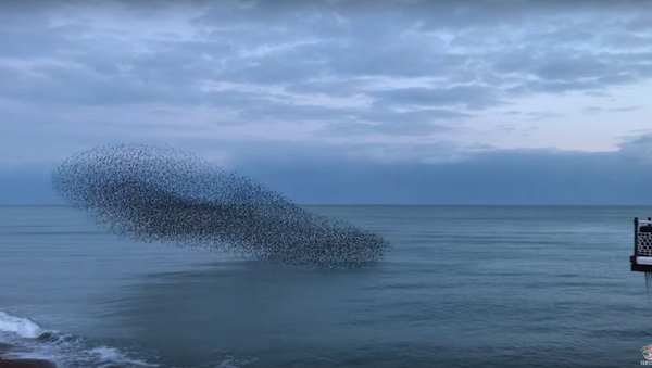 Thousands of Starlings Come Home to Roost in Brighton Murmuration - Sputnik International
