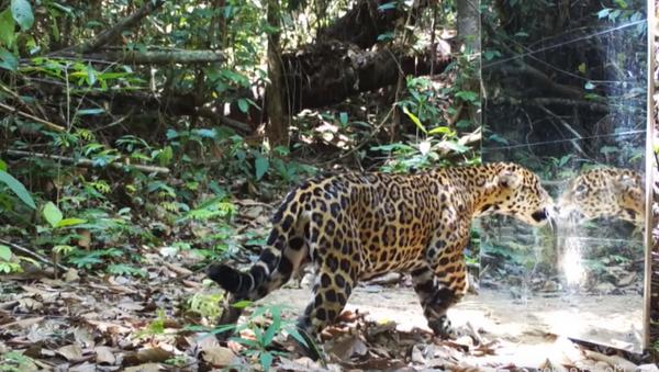 'Who's That Cat?' Mirror Frightens, Delights Rainforest Wildlife - Sputnik International